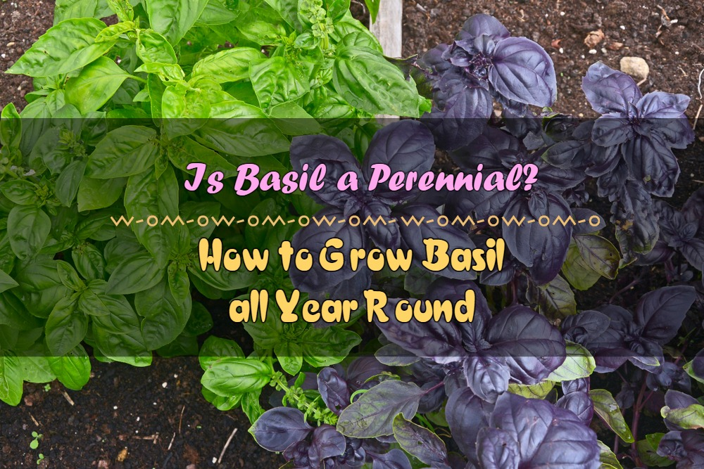 Is Basil a Perennial and How to Grow Basil all Year Round