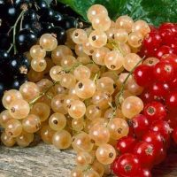 How to Grow Blackcurrants & Redcurrants
