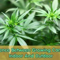 Difference Between Growing Cannabis Indoor And Outdoor