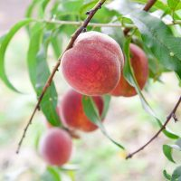 Your Guide To Growing A Peach Tree In Cold Climates